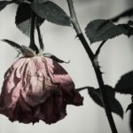 faded red, dying rose